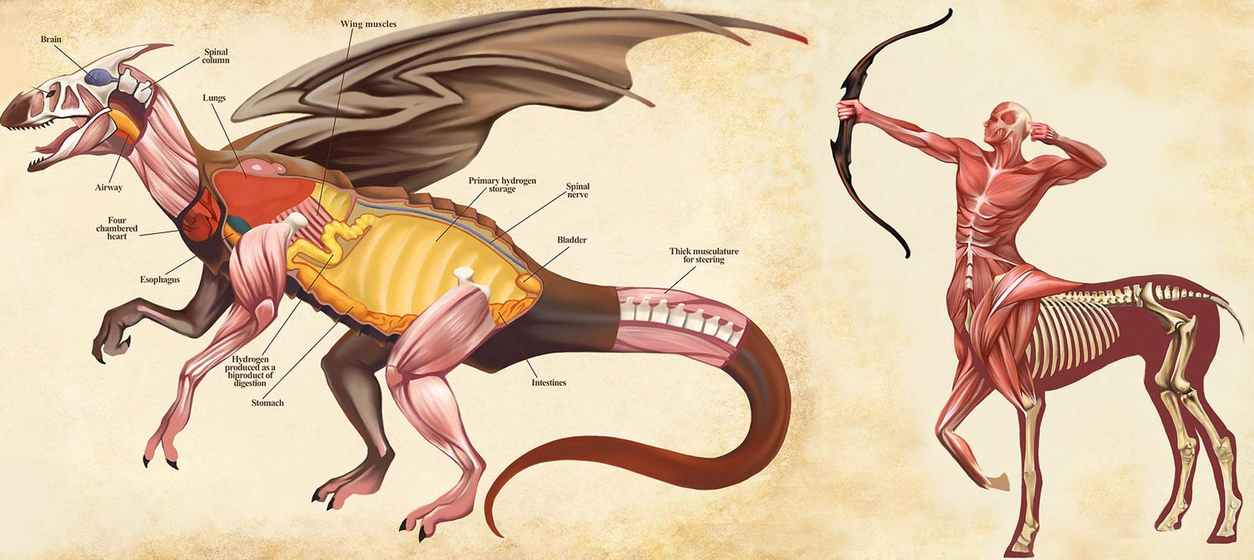 anatomie, anatomy, Christopher Stoll, centaur anatomie, dragon anatomy, draak van binnen