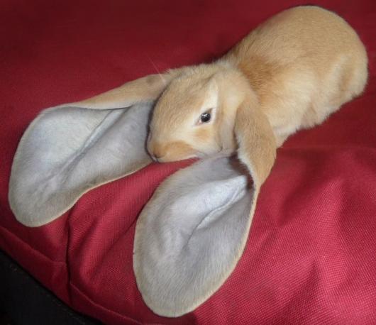 konijn, langoor